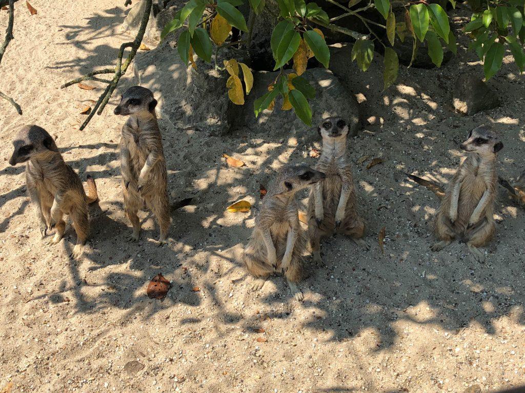 Meerkats at Paradise Park