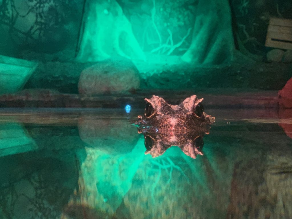 Archie the Dwarf Croc at London Aquarium