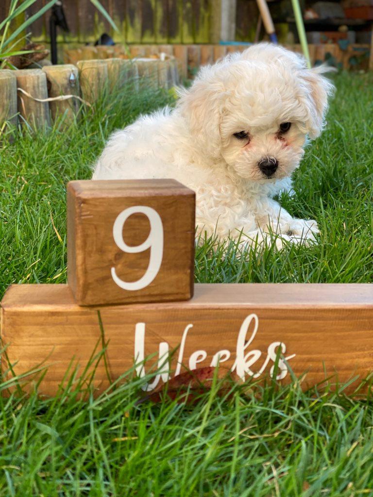 9 week old Bichon Frise pup
