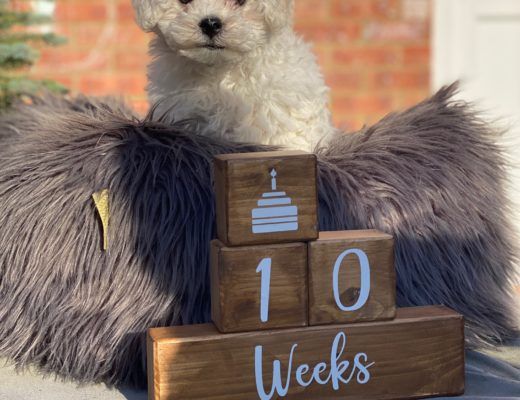 Bichon Frise 10 week old pup