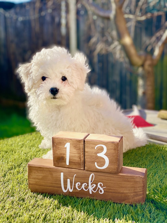 13 week old Bichon Frise