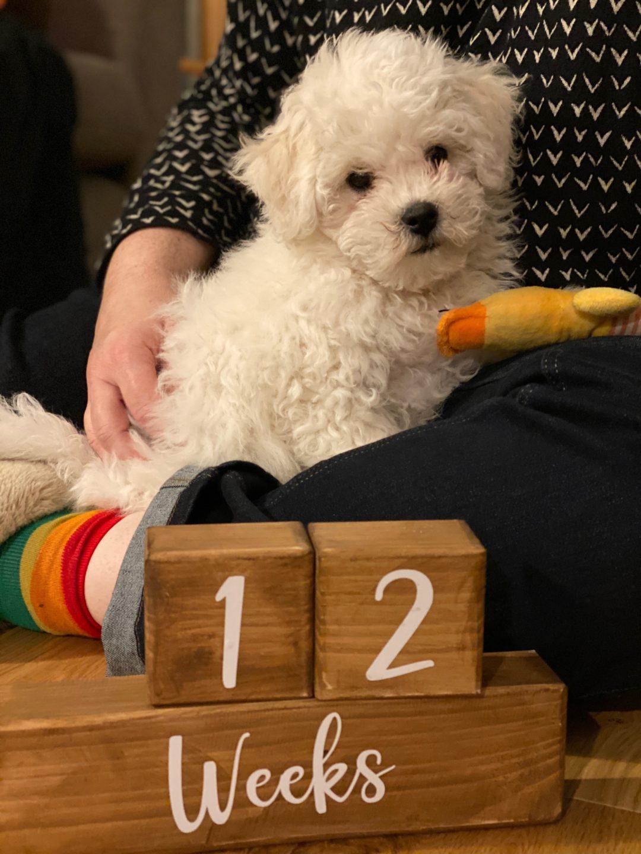 Bichon Frise puppy 12 weeks
