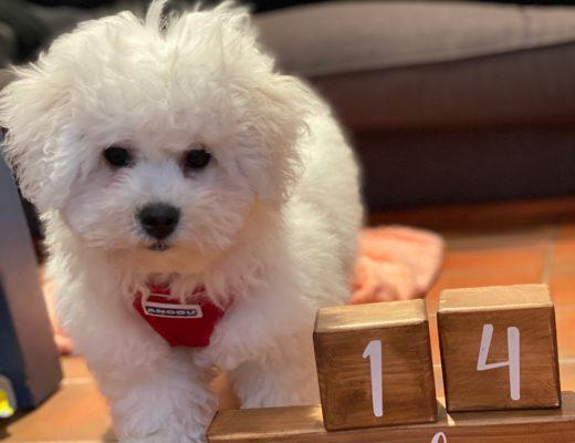 Bichon Frise puppy 14 weeks
