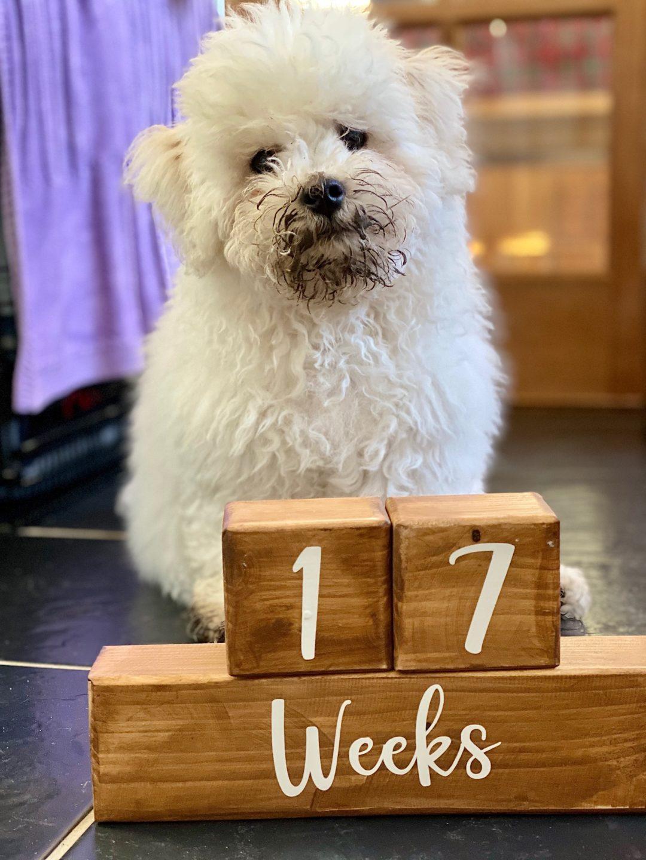 17 week old Bichon Frise puppy