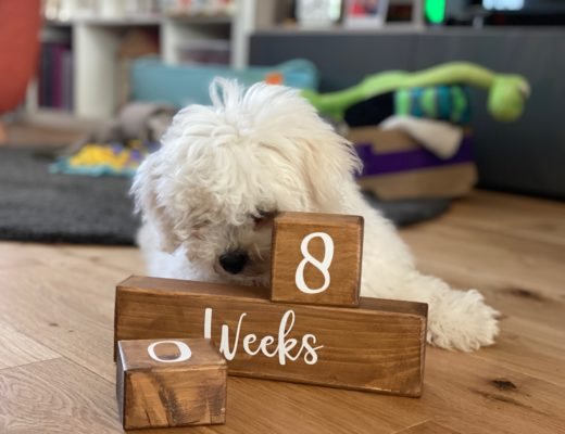 18 week old bichon