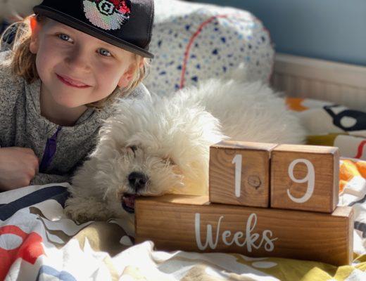 19 week Bichon Frise puppy