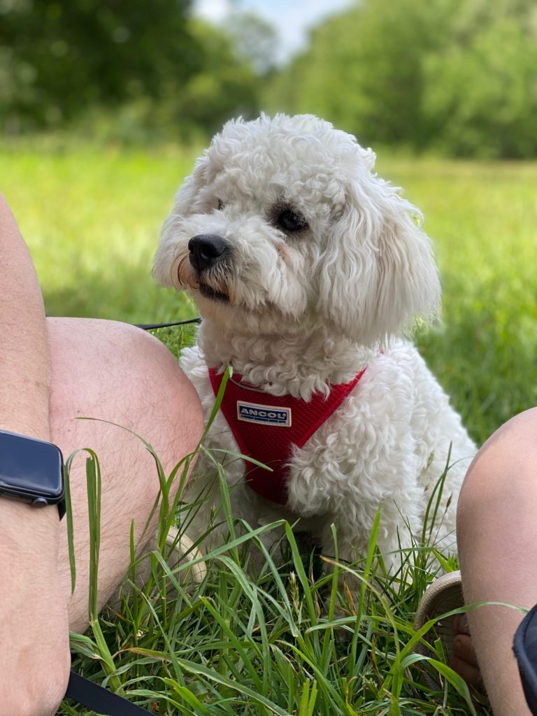 day out with our Bichon Frise pup