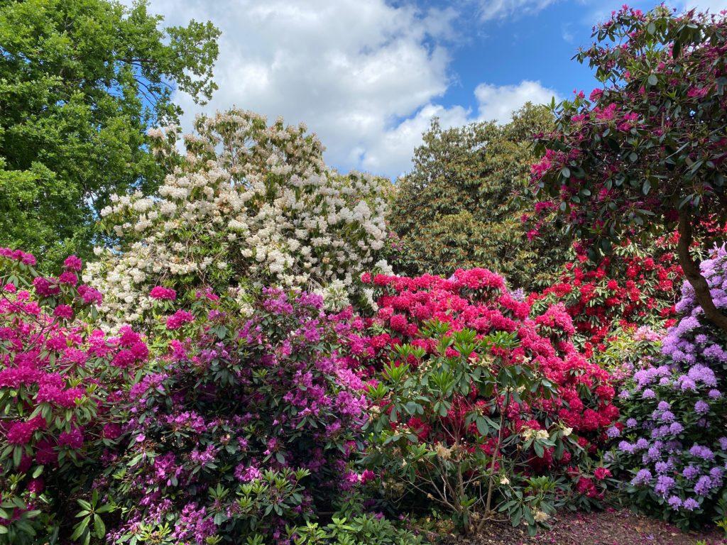 Langley Park rhodedendrons