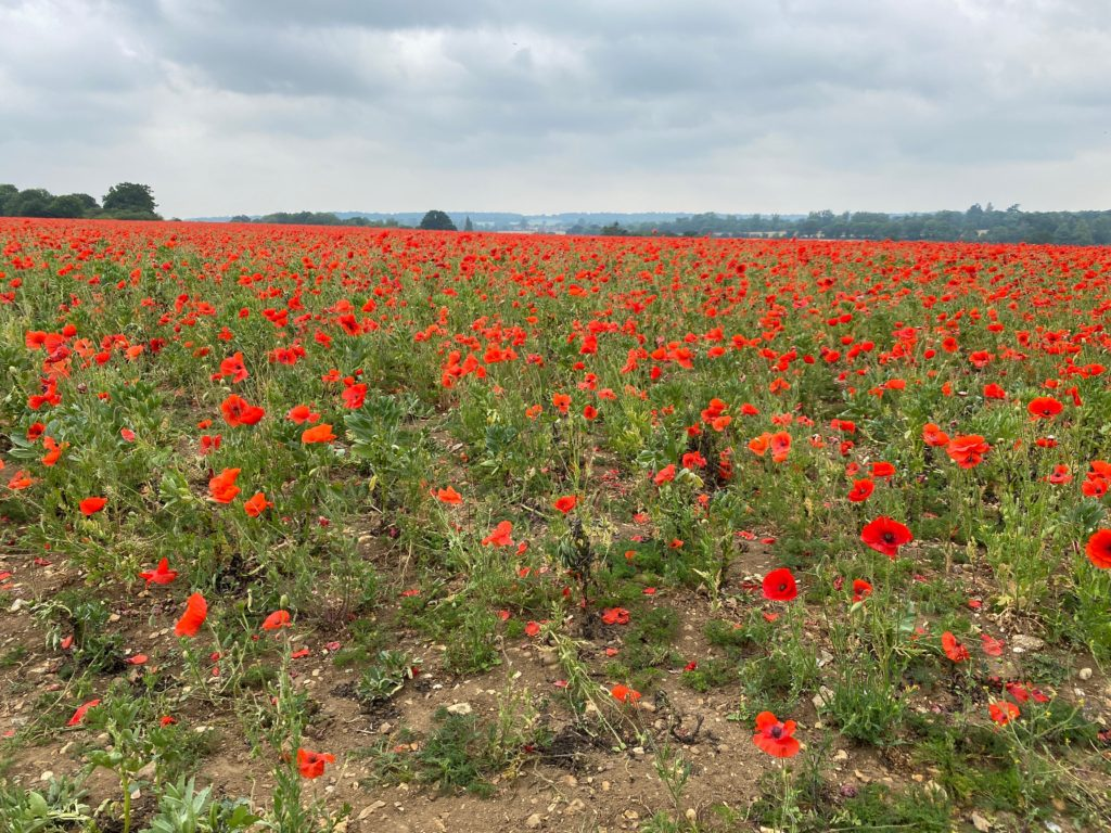 where to find poppy fields in the UK