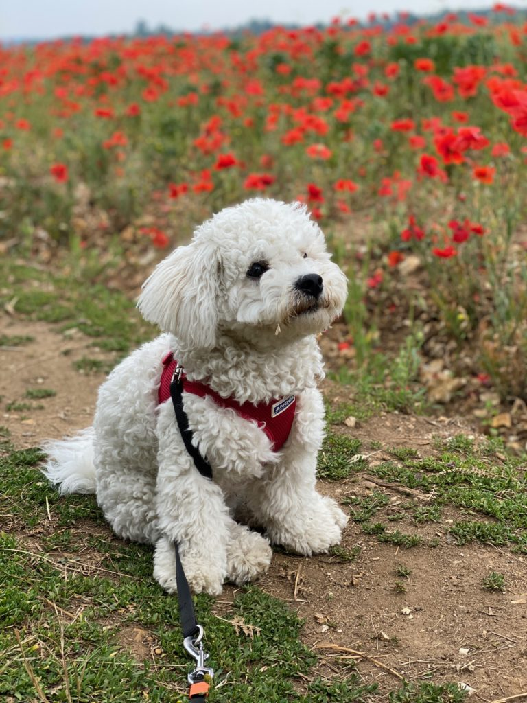 Bichon Frise amongst the poppies