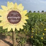 Pick your own sunflowers at Darts Farm
