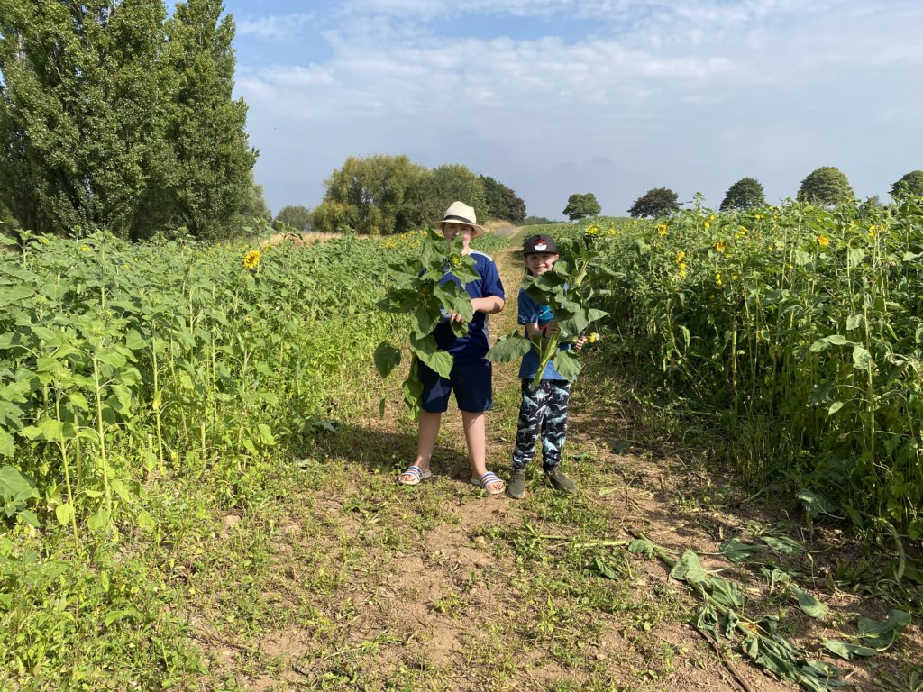 Pick your own sunflowers at Darts Farm, South Devon