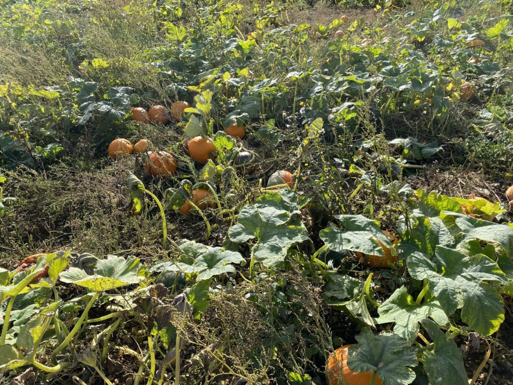 london pumpkin patch