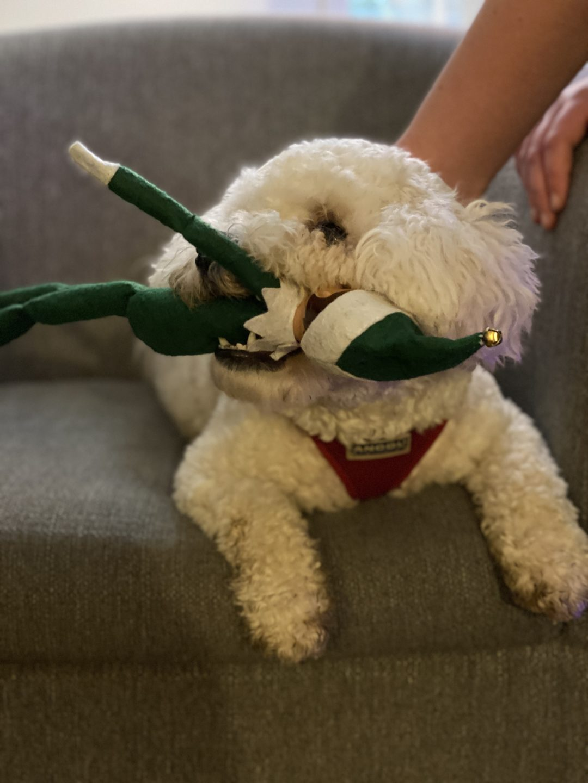 dog eating Elf on the Shelf