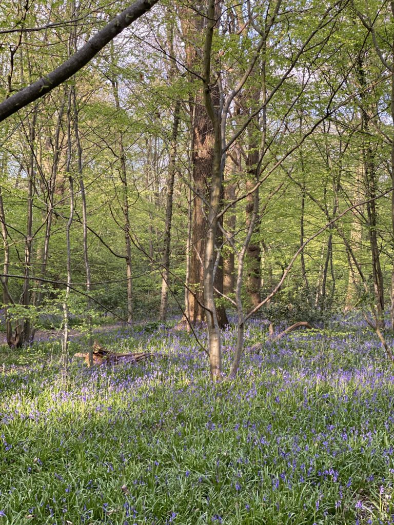 Searching for bluebells in Ruislip Woods