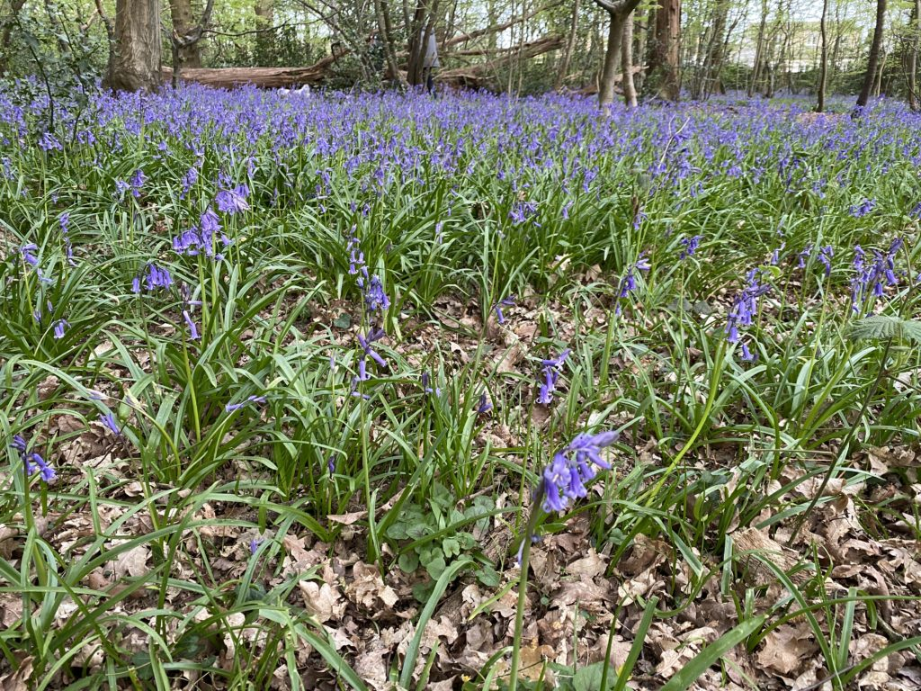 Searching for bluebells in Ruislip Park Woods