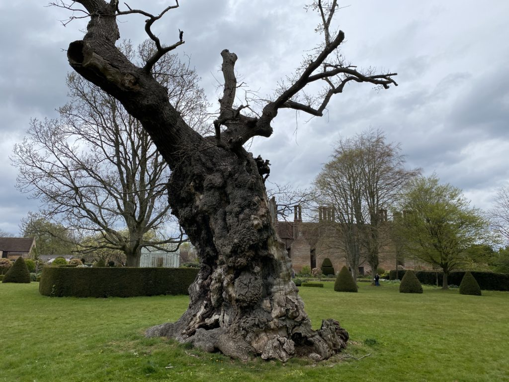 Elizabeth oak at Chenies