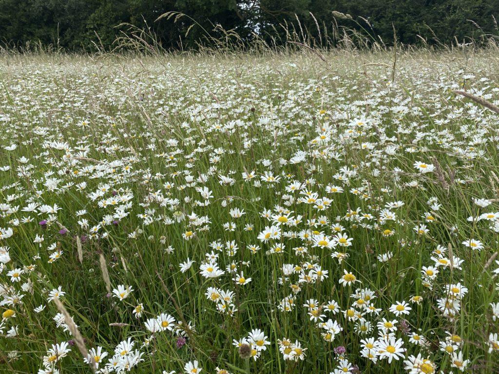 Wild flower meadow Ickenham