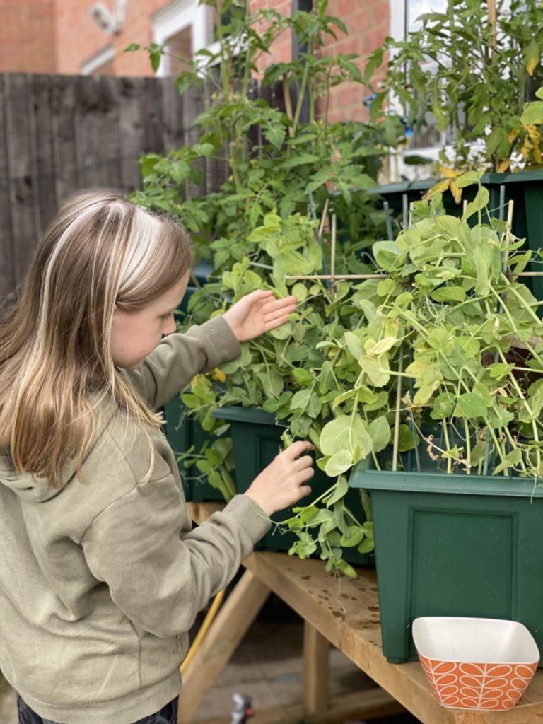 picking home grown peas