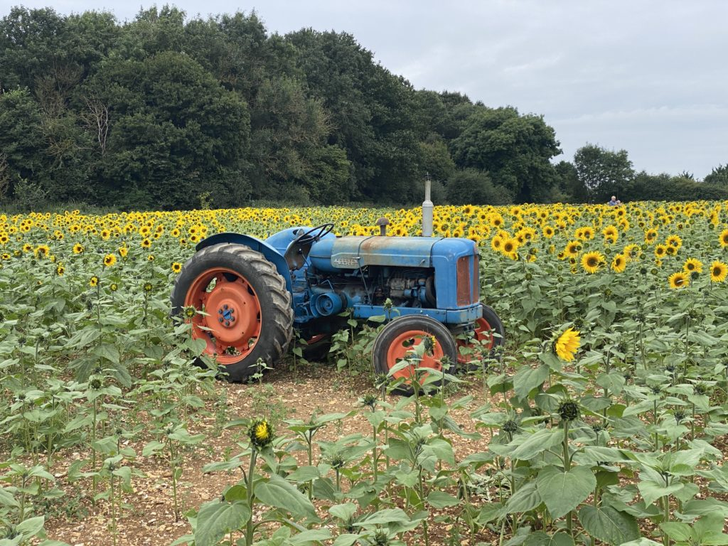 Fordson Major tractor in sunflower field